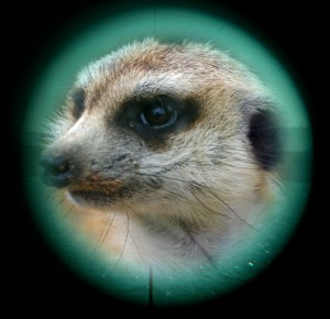 Meerkat and Periscope